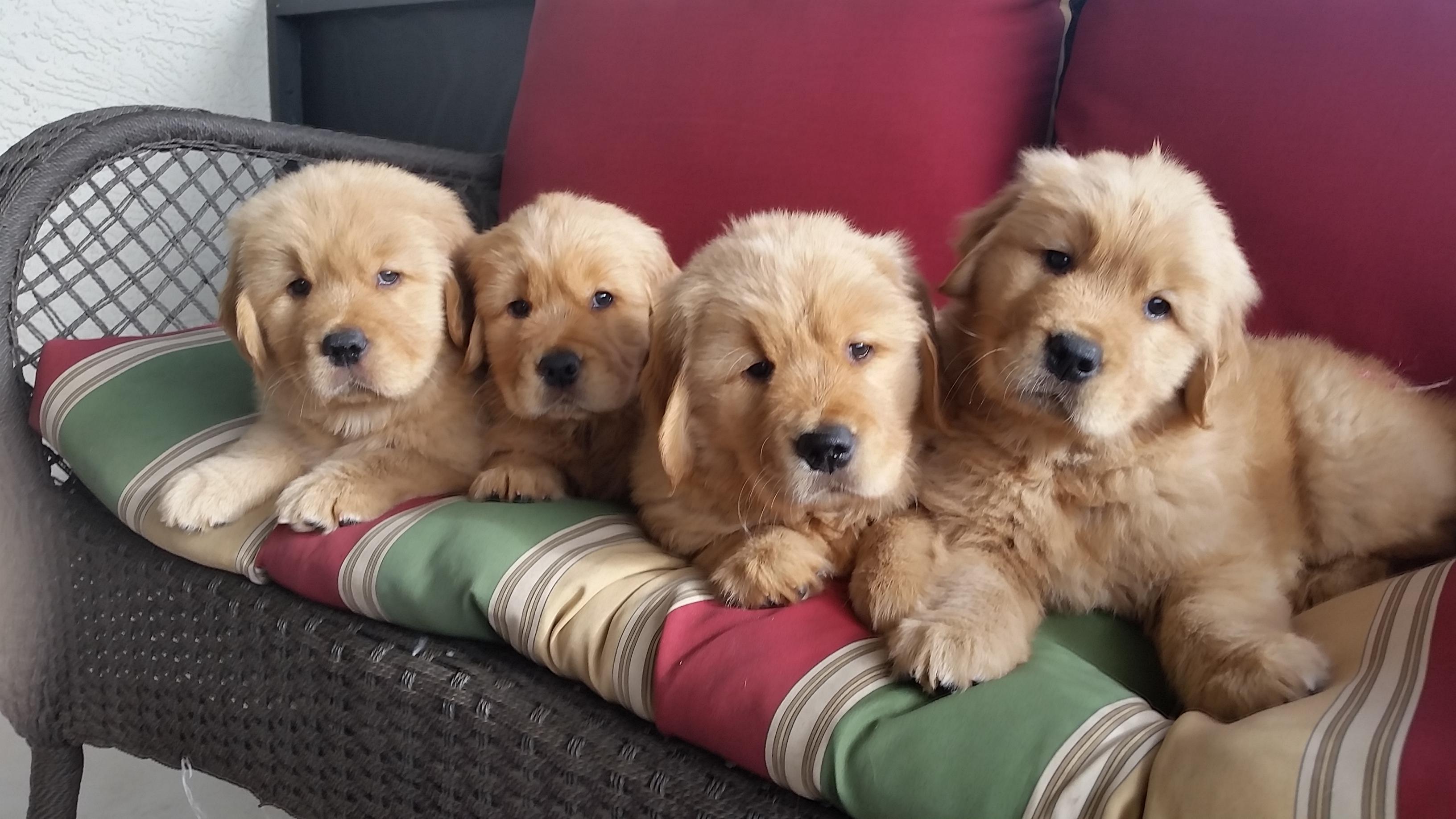 Puppy Referral Florida Gulf Coast Golden Retriever Club